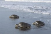 Tim Martin - Olive Ridley Sea Turtle trio come ashore to lay eggs, Costa Rica