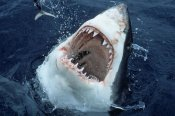 Armin Maywald - Great White Shark at surface with open mouth, worldwide range