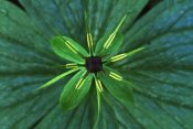 Wil Meinderts - Herb Paris close up, medicinal plant