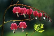 Jef Meul - Bleeding Heart flowers