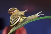 Jef Meul - Brown Lipped Snail small snail riding on the shell of a larger snail, western Europe