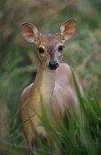 Claus Meyer - Marsh or Swamp Deer portrait, Pantanal ecosystem, Brazil