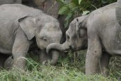 Hiroya Minakuchi - Asian Elephant young playing, Saba, Malaysia