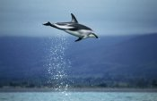 Hiroya Minakuchi - Dusky Dolphin leaping out of water, New Zealand