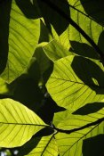 Hiroya Minakuchi - Rainforest leaves showing sunlight and shadow patterns, Borneo, Malaysia
