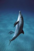 Hiroya Minakuchi - Atlantic Spotted Dolphin pair swimming underwater, Little Bahama Bank, Bahamas, Caribbean