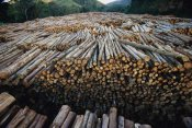 Mark Moffett - Gum Tree lumber, the world's biggest source of Eucalyptus pulp for paper, Atlantic forest, Brazil