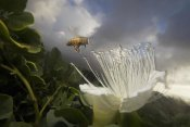 Mark Moffett - Honey Bee approaching rare Maiapilo flower, Kauai, Hawaii
