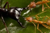 Mark Moffett - Weaver Ant pair defending against Driver Ant attack, Africa