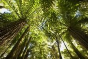Colin Monteath - Tree Fern forest near Haast Pass, New Zealand