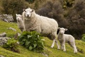 Colin Monteath - Domestic Sheep with twin lambs, Stony Bay, Banks Peninsula, Canterbury, New Zealand