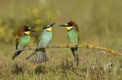 Ramon Navarro - European Bee-eaters perched on branch. Donana National Park, Seville, Spain