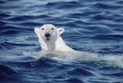 Flip Nicklin - Polar Bear swimming, Baffin Island, Nunavut, Canada