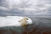 Flip Nicklin - Polar Bear hauling out on ice floe, Wager Bay, Canada