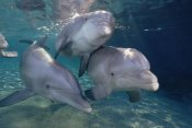 Flip Nicklin - Bottlenose Dolphin trio underwater, Waikoloa Hyatt, Hawaii