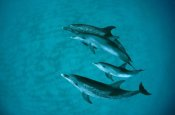 Flip Nicklin - Atlantic Spotted Dolphin adult group with unspotted calf, underwater, Bahamas