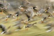 Dietmar Nill - White-fronted Goose flock taking off from field, Europe