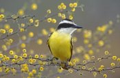 Rolf Nussbaumer - Great Kiskadee perched on flowering Huisache, Lake Corpus Christi State Park, Texas