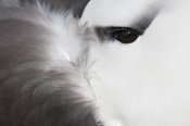 Heike Odermatt - Black-browed Albatross detail, Falkland Islands