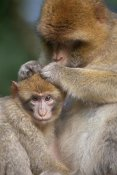 Heike Odermatt - Barbary Macaque mother grooming baby, Affenberg SalemLake, Constance, Germany