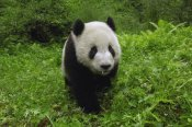 Pete Oxford - Giant Panda standing in vegetation, Wolong Nature Reserve, China