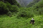 Pete Oxford - Giant Panda sitting in vegetation eating, Wolong Nature Reserve, China
