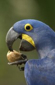 Pete Oxford - Hyacinth Macaw in Cerrado habitat cracking open a Piassava Palm nut to drink the milk, Brazil