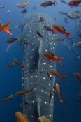 Pete Oxford - Whale Shark swimming with other tropical fish, Galapagos Islands, Ecuador