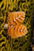 Pete Oxford - Christmas Tree Worm filter feeding while attached to Brain Coral, Bonaire, Netherlands Antilles, Caribbean