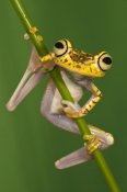 Pete Oxford - Chachi Tree Frog, northwest Ecuador