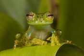 Pete Oxford - Emerald Glass Frog, northwest Ecuador