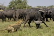Pete Oxford - African Lion fending off Cape Buffalo, Africa