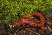 Pete Oxford - Red Salamander, native to the southeastern United States