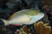 Pete Oxford - Red-banded Parrotfish, Bonaire, Netherlands Antilles, Caribbean