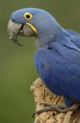 Pete Oxford - Hyacinth Macaw portrait, Cerrado habitat, Brazil, South America