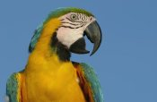 Pete Oxford - Blue and Yellow Macaw portrait, native to Amazon rainforest, South America