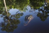 Pete Oxford - American Alligator on surface, Okefenokee National Wildlife Refuge, Florida