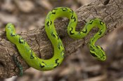 Pete Oxford - Yellow-blotched Palm Pitviper, native to southern Mexico and northern Guatemala