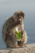 Pete Oxford - Barbary Macaque eating potato chips stolen from tourist, Gibraltar, United Kingdom
