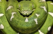 Pete Oxford - Emerald Tree Boa showing thermoreceptors between the labial scales, Amazon, Ecuador