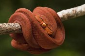 Pete Oxford - Common Tree Boa coiled around branch, Iwokrama Rainforest Reserve, Guyana, manipulated image