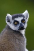 Pete Oxford - Ring-tailed Lemur portrait in the Andringitra Mountains, vulnerable, south central Madagascar
