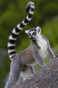 Pete Oxford - Ring-tailed Lemur portrait on rocks in the Andringitra Mountains, vulnerable, south central Madagascar