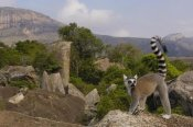 Pete Oxford - Ring-tailed Lemur portrait on rocks overlooking the Andringitra Mountains, vulnerable, south central Madagascar
