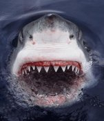Mike Parry - Great White Shark at surface, Cape Province, South Africa