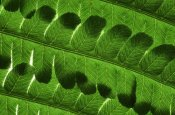 Jorn Pilon - Male Fern close up of leaves, North America and Europe