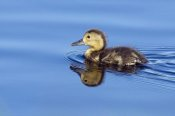 Otto Plantema - Common Pochard chick swimming, De Groote Peel National Park, Netherlands