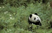 Fritz Polking - Giant Panda year old male, Wolong Valley, Himalayas, China