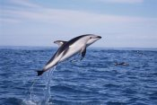 Todd Pusser - Dusky Dolphin leaping, Kaikoura, New Zealand