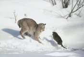 Michael Quinton - Bobcat hunting Muskrat in the winter, Idaho